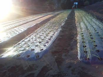 タマネギの定植2012