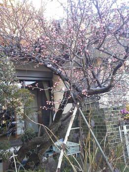 梅の花2013その1