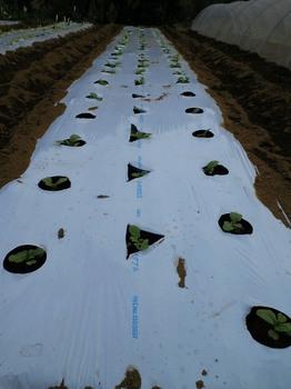 ミニ白菜の定植