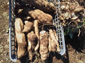 ヤーコン収穫!!2012
