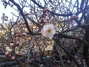 梅の花2013