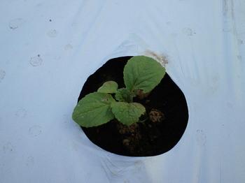 ミニ白菜の苗